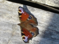 00010-peacock_butterfly_on_path.jpg
