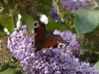 00030-peacock_butterfly.jpg