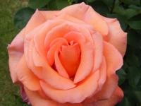 00010-Roses_etc_019.jpg