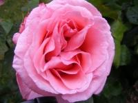00040-Roses_etc_012.jpg